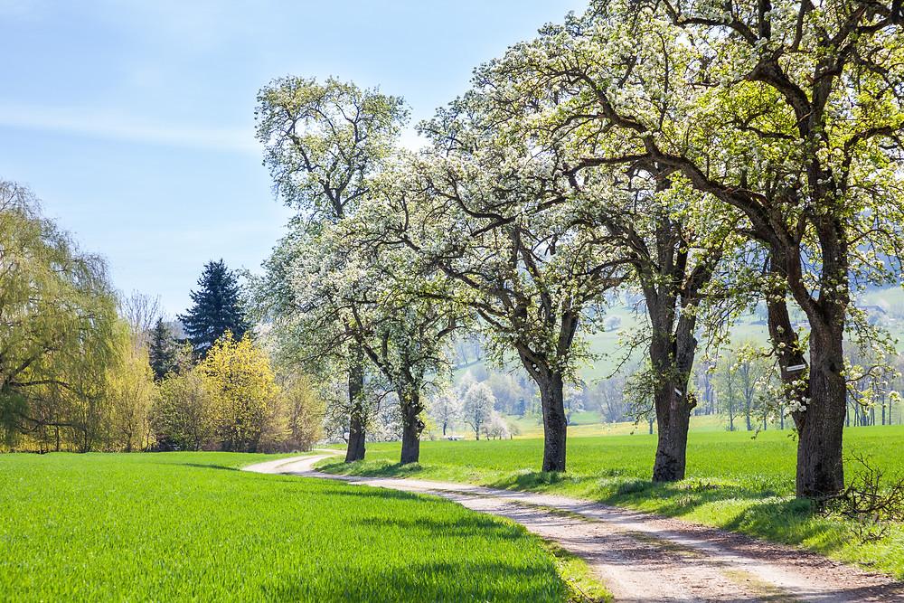 Mostbirnblüte, Mostbirnbaum, Mostbirnbaumblüte, Birnbaumblüte, Mostviertel, Niederösterreich, Wandern, Ausflug, Wandertipp, Mostobstwanderweg