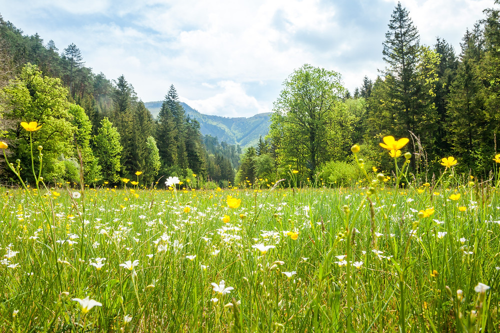Kieneck, Enzianhütte, Ramsau, Voralpen, Wienerwald, Alpen, Wandern, Wandertipp, Niederösterreich, Ausflug, Alpenverein, Bergwandern, Bergtour, Blumenwiese, Wiesenblumen