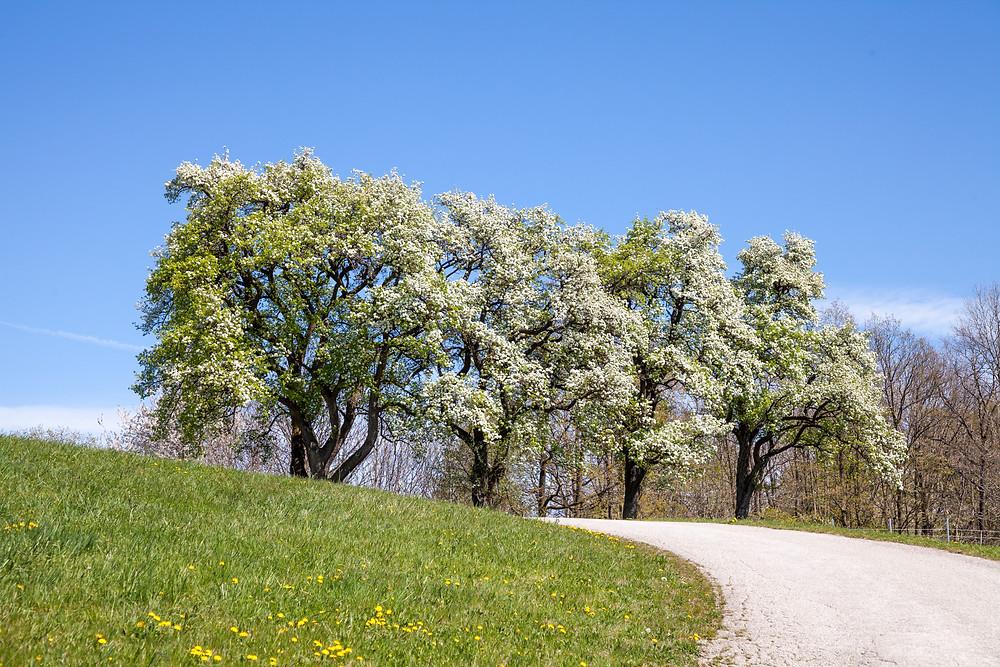 Mostbirnblüte, Mostbirnbaum, Mostbirnbaumblüte, Mostviertel, Niederösterreich, Wandern, Wandertipp, Ausflug