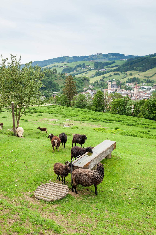 Buchenberg, Naturpark Buchenberg, Tierpark Buchenberg, Naturpark, Tierpark, Mostviertel, Niederösterreich, Ausflug, Naturerlebnis, heimische Wildtiere, Haustiere, Schafe, Schafherde