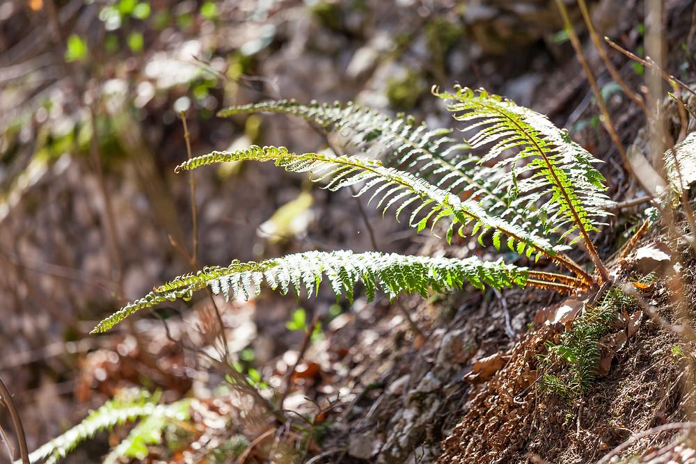 Farn, Farnwedel, Waldfarn, Adlerfarn, Waldpflanze, Schattenpflanze