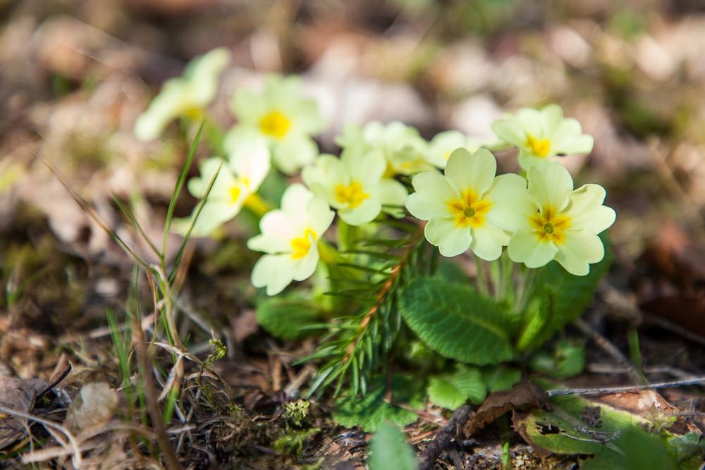 Primeln, Frühlingsblüher, Frühling, Blumen, Wanderung, Wandern, Lilienfeld, Mostviertel, Niederösterreich, Schneerosenwarte, Wandertipp