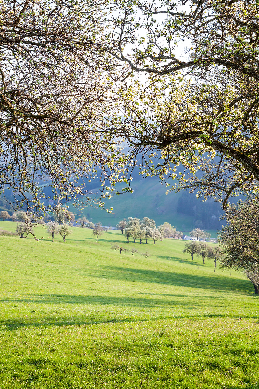 Mostbirnbaum, Birnbaum, Baumblüte, Mostviertel, Niederösterreich, wandern, Wanderung