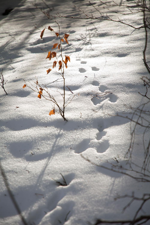 Hase, Hasenspur, Schneespuren, Zdarskyhütte, St. Aegyd, Voralpen, Niederösterreich, Wancurasteig, Steig, Winterwandern, Wandern, Wanderung