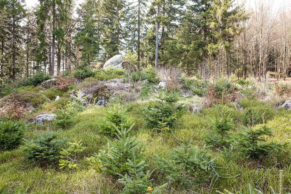 Nadelbaum, Fichte, Tanne, Wald, Steine, Felsen