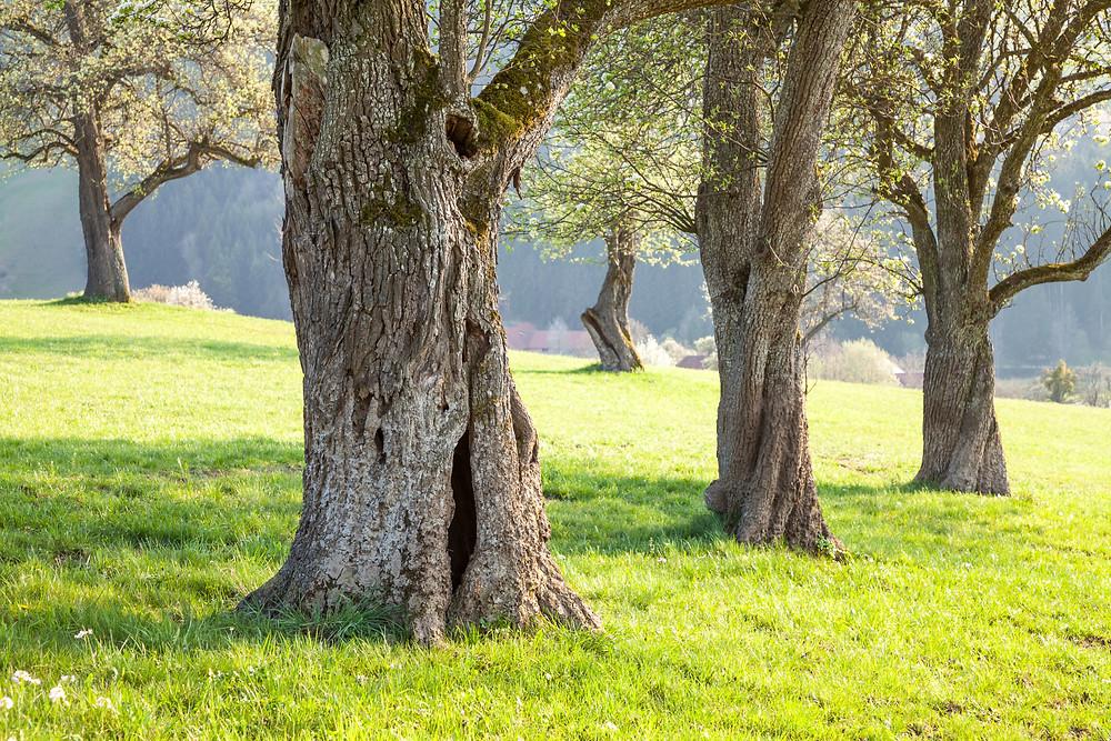 Mostbirnbaum, Birnbaum, Baumblüte, Streuobstwiese, Mostviertel, Niederösterreich, Wandern, Wanderung