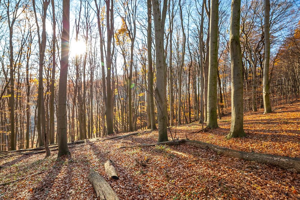 Wienerwald, Niederösterreich, Wandern, Wanderung, Ausflug, Wald, Rundwanderung, Wanderurlaub, Wanderreise, buchenwald