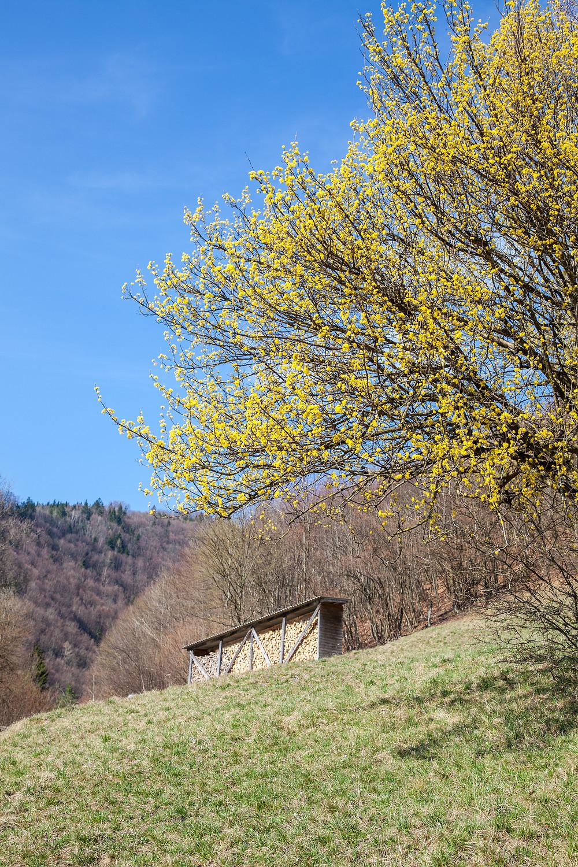Kornelkirsche, Hartriegel, Dirndl, Dirndlstrauch, Mostviertel, Lilienfeld, Wandern, Strauch, Natur, Frühling
