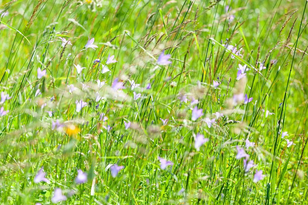 Glockenblume, Blumenwiese, Almwiese, Blumen, Wiesenblumen, Gras. Annaberg, Annahm, Hennesteck, wandern, Wanderung, Ausflug, Niederösterreich, Mostviertel