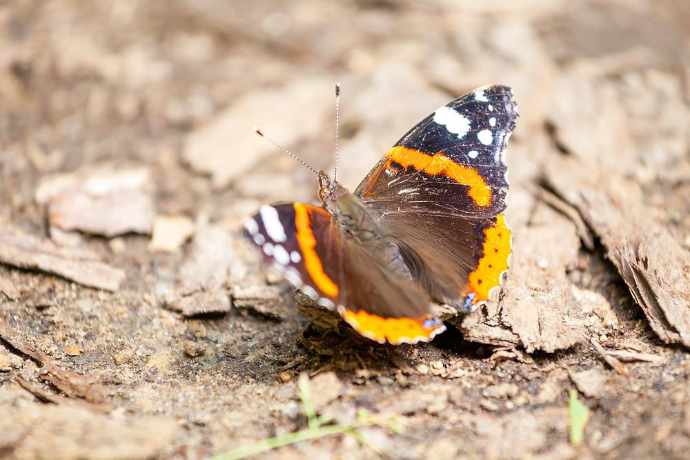Nationalpark Thayatal, Thayatal, Nationalpark, NP Thayatal, Thaya, Waldviertel, wandern, Wanderung, Ausflug, Niederösterreich, Schmetterling