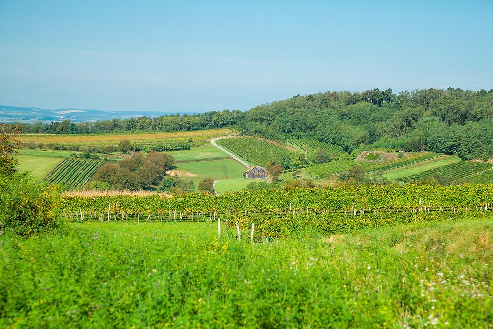 Wandern, Weinviertel, Niederösterreich, Wanderung, Weingärten, Weinberge, Weinstock