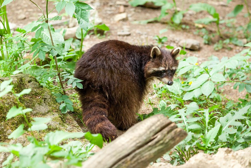 Buchenberg, Naturpark Buchenberg, Tierpark Buchenberg, Naturpark, Tierpark, Mostviertel, Niederösterreich, Ausflug, Naturerlebnis, heimische Wildtiere, Haustiere, Waschbär, Waschbären
