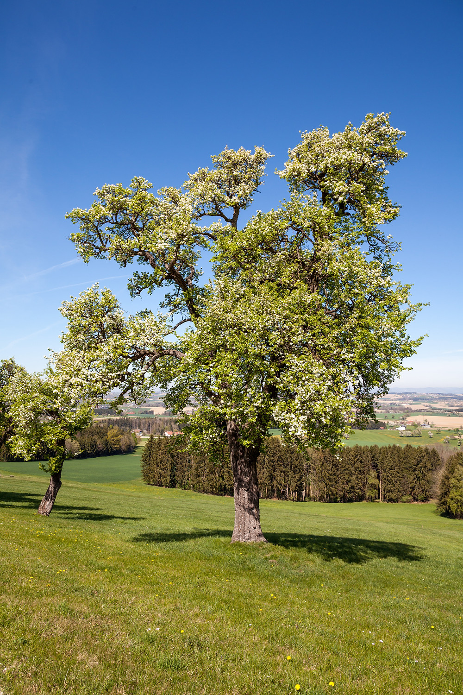 Mostbirnblüte, Mostbirnbaum, Mostbirnbaumblüte, Mostviertel, Baumblüte, Frühling, Niederösterreich, Wandern, Wandertipp, Ausflug, Mostobstwanderweg