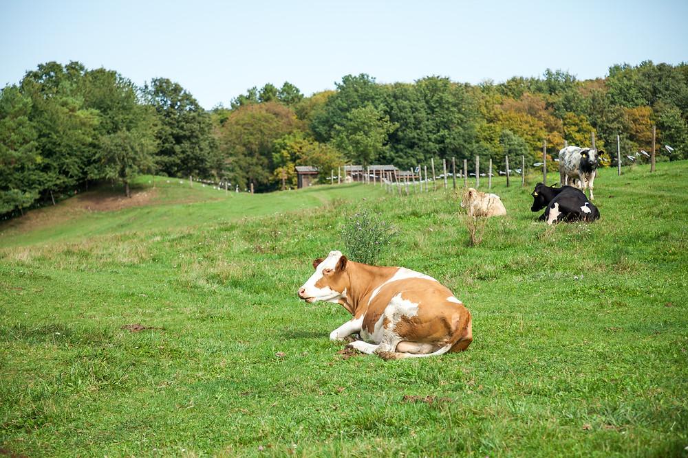 Kuh, Kühe, Weide, Alm, Wiese, Nutztiere, Weidetiere, Wienerwald