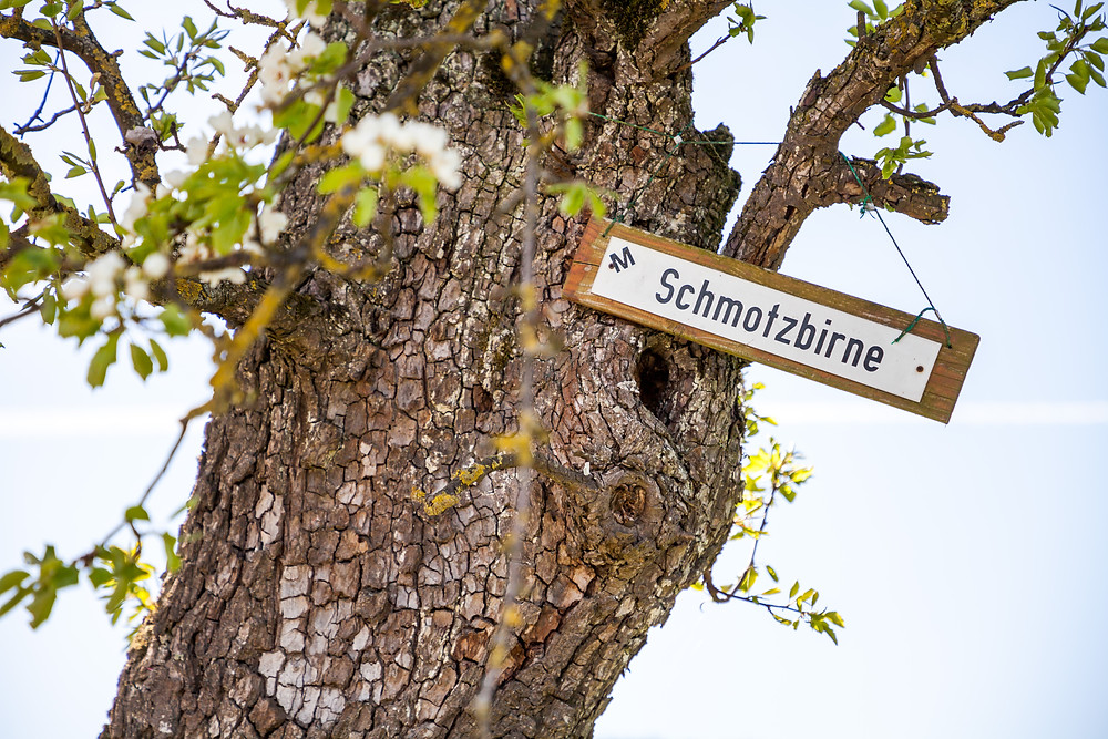 Schmotzbirne, Mostbirnbaum, Mostbirnbaumblüte, Mostviertel, Niederösterreich, Wandern, Ausflug, Wandertipp, Seitenstetten, Mostobstwanderweg