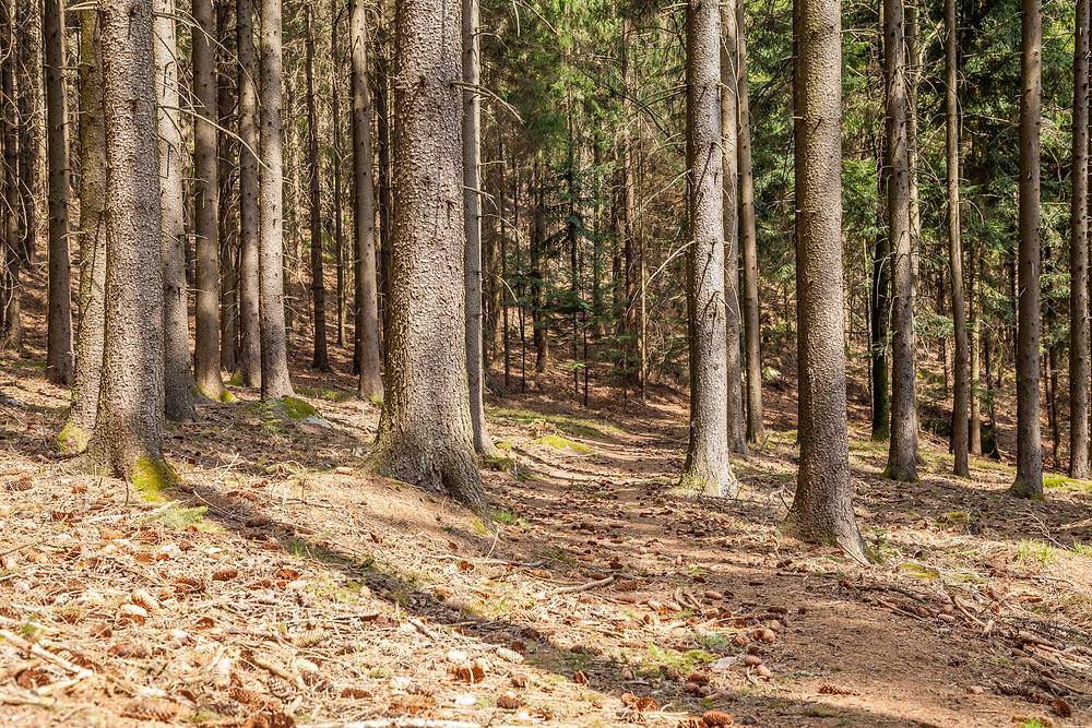 Waldweg, Fichtenwald, Waldviertel, Niederösterreich