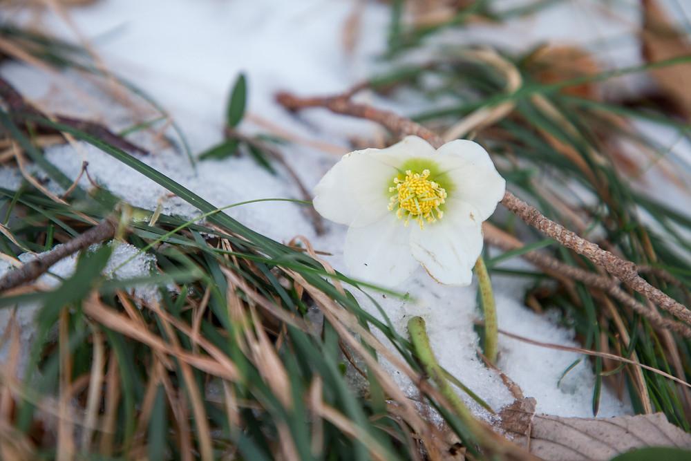 Schneerose, Unterberg, Winter, Alpenvorland, Niederösterreich, Wandern, Wanderung, Winterwandern, Frühblüher, Blume im Schnee