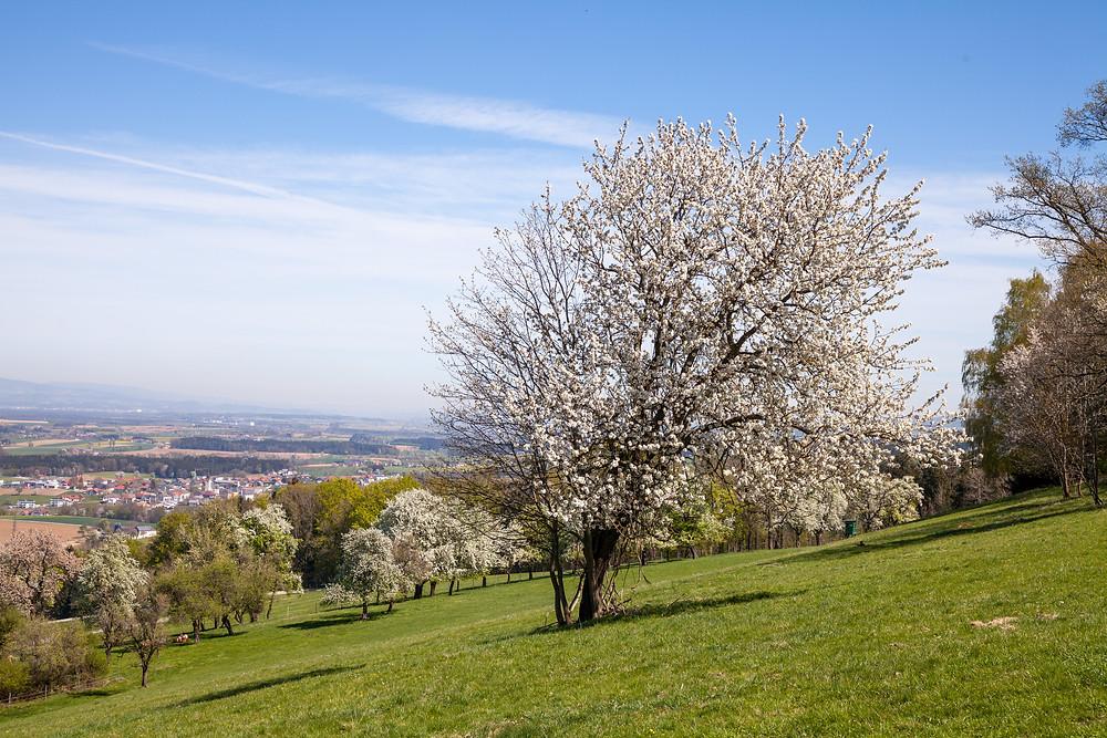 Mostviertel, Baumblüte, Obstbaum, Frühling, Wandern, Ausflug, Wandertipp, Mostobstwanderweg