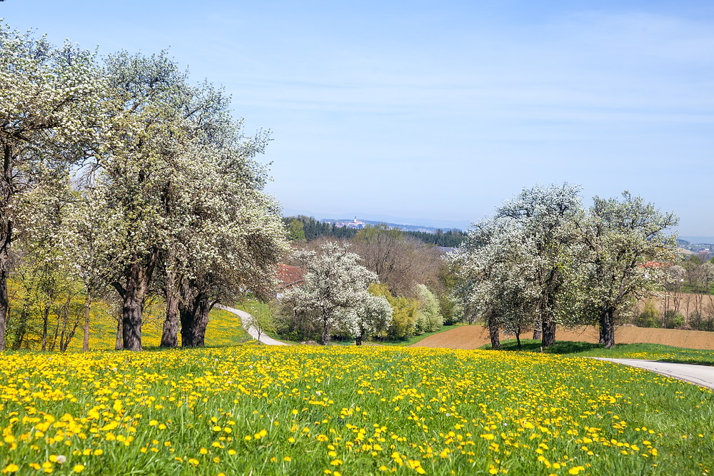 Mostbirnblüte, Mostbirnbaum, Mostbirnbaumblüte, Mostviertel, Niederösterreich, Wandern, Ausflug, Wandertipp, Mostobstwanderweg