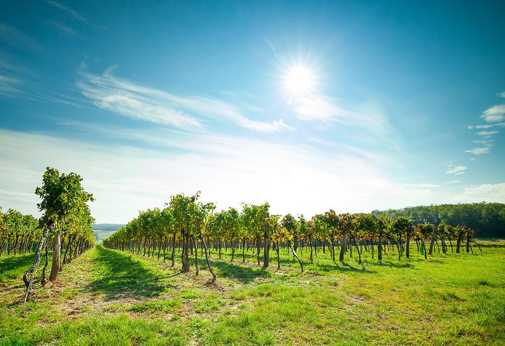 Wandern, Weinviertel, Niederösterreich, Wanderung, Weintrauben, Weinberg, Weingarten
