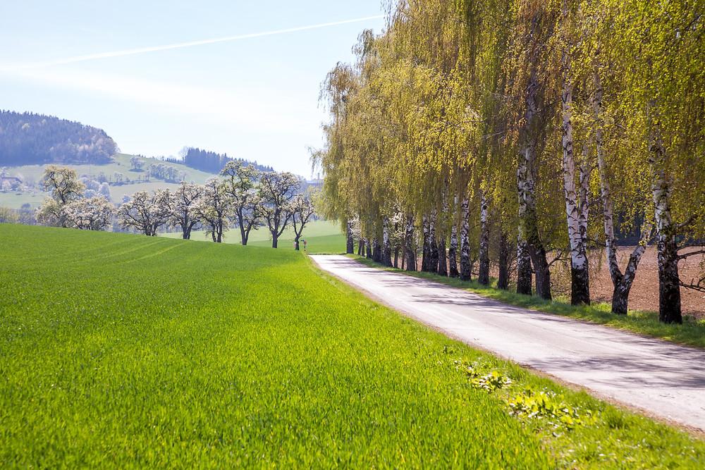 Birken, Allee, Obstbäume, Mostbirn, Mostbirnblüte, Mostviertel, Niederösterreich, Seitenstetten, Wandern, Ausflug