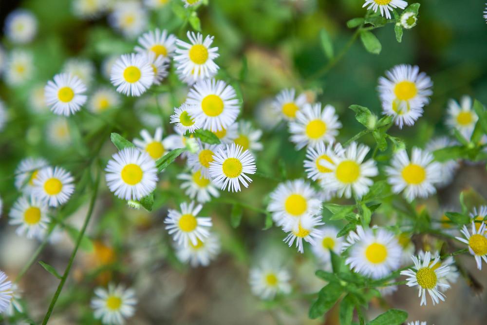 Blume, Wiesenblume, Sommer