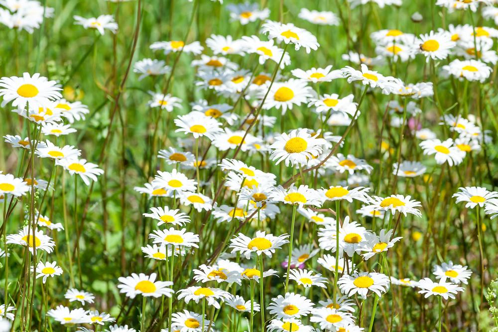 Margerite, Blumenwiese, Almwiese, Blumen, Wiesenblumen, Gras. Annaberg, Annahm, Hennesteck, wandern, Wanderung, Ausflug, Niederösterreich, Mostviertel