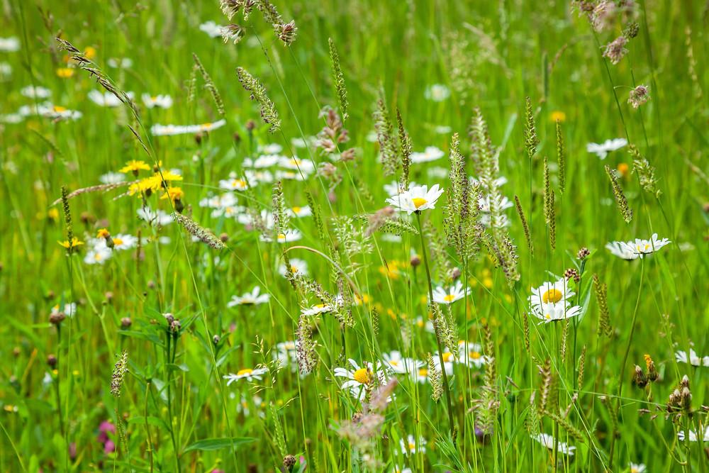 Blumenwiese, Almwiese, Blumen, Wiesenblumen, Gras. Annaberg, Annahm, Hennesteck, wandern, Wanderung, Ausflug, Niederösterreich, Mostviertel