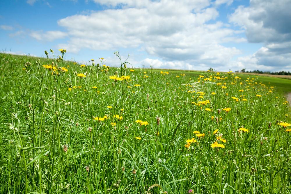 Mohnleutweg, Mohndorf, Armschlag, Mohnfelder, Mohnblüte, Waldviertel, Wald4tel, Niederösterreich, Wandern, Wanderung, Ausflug, Wiese, Wiesenblumen