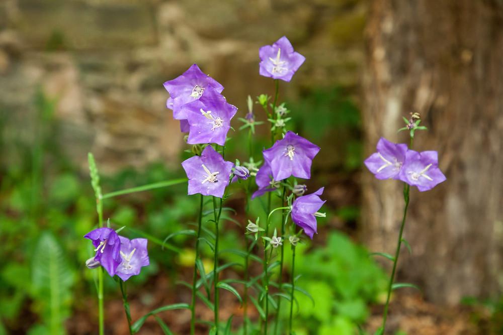 Glockenblumen,Wiesenblume, Wiesenglockenblume, Kamp, Kamptal, Steinegg, Ödes Schloss, Wandern, Wanderung, Ausflug, Waldviertel, Niederösterreich