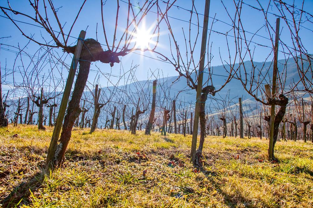 Weinstöcke, Wachau, Winter, Weinstock, Weingarten, Niederösterreich, Wandern, Wanderungen, Winterwandern