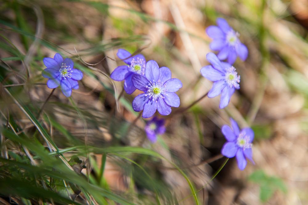Leberblümchen, Frühling, Frühlingsblüher, Frühlingsblumen, Wandern, Wanderung, Niederösterreich, Mostviertel, Lilienfeld, Schneerosenwarte