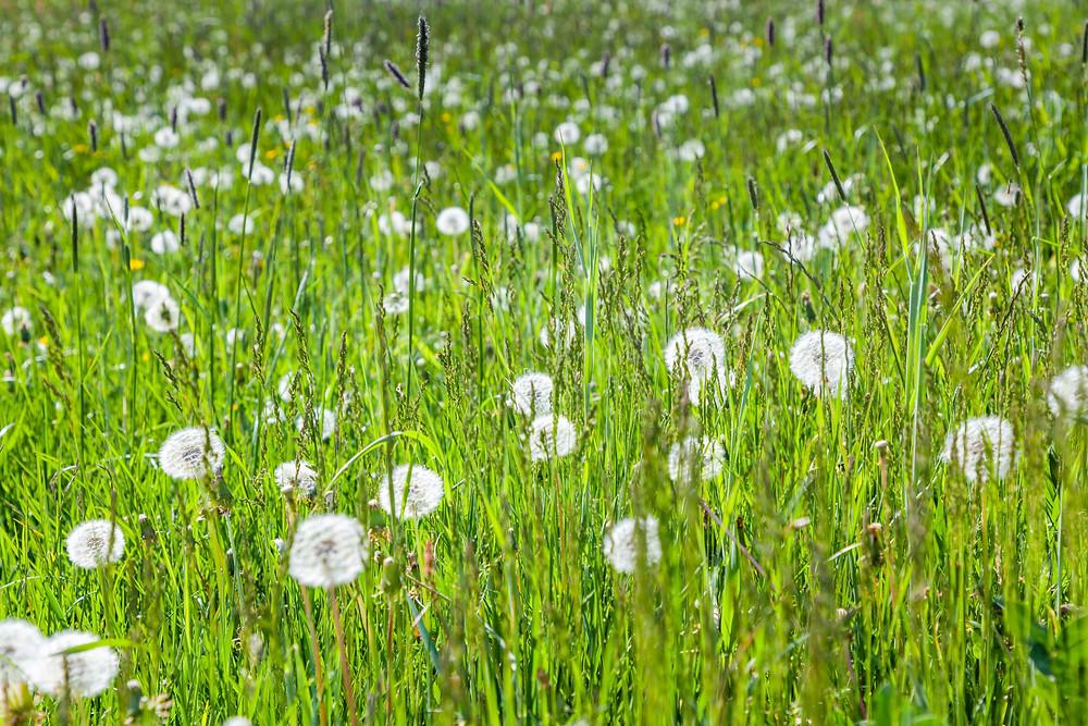 Pusteblumen, Löwenzahnwiese, Mostviertel, Niederösterreich, Wandern, Ausflug, Wandertipp