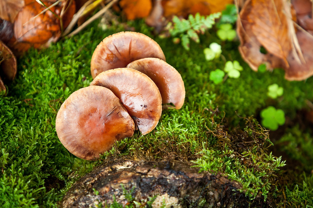 Nebelstein, Waldviertel, wandern, Wanderung, Niederösterreich, Wanderurlaub, Wanderreise, Herbst, Wald, Makroaufnahme, Pilze, Schwammerl