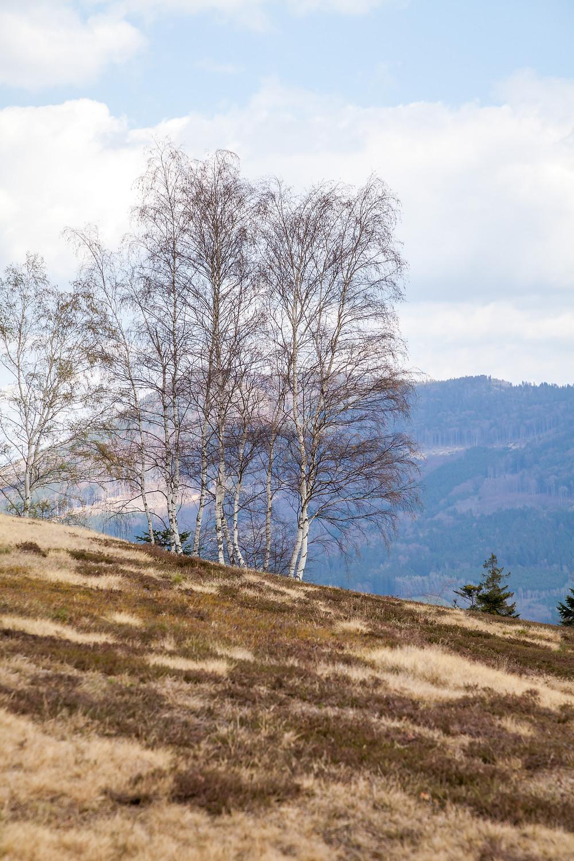 Birken, Wiese, Hang, Waldviertel, Niederösterreich