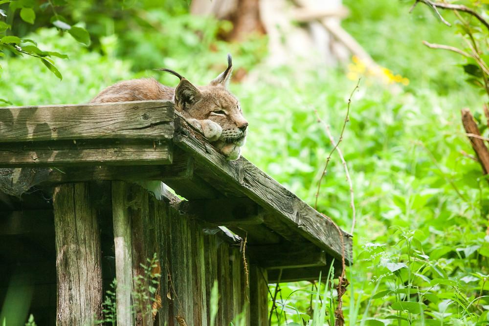 Buchenberg, Naturpark Buchenberg, Tierpark Buchenberg, Naturpark, Tierpark, Mostviertel, Niederösterreich, Ausflug, Naturerlebnis, heimische Wildtiere, Haustiere, Luchs