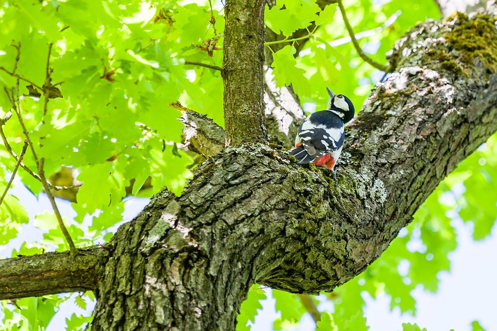 Buntspecht, Specht, heimischer Vogel, Waldvogel, Vogelbeobachtung, Tierbeobachtung, Wachau, Niederösterreich