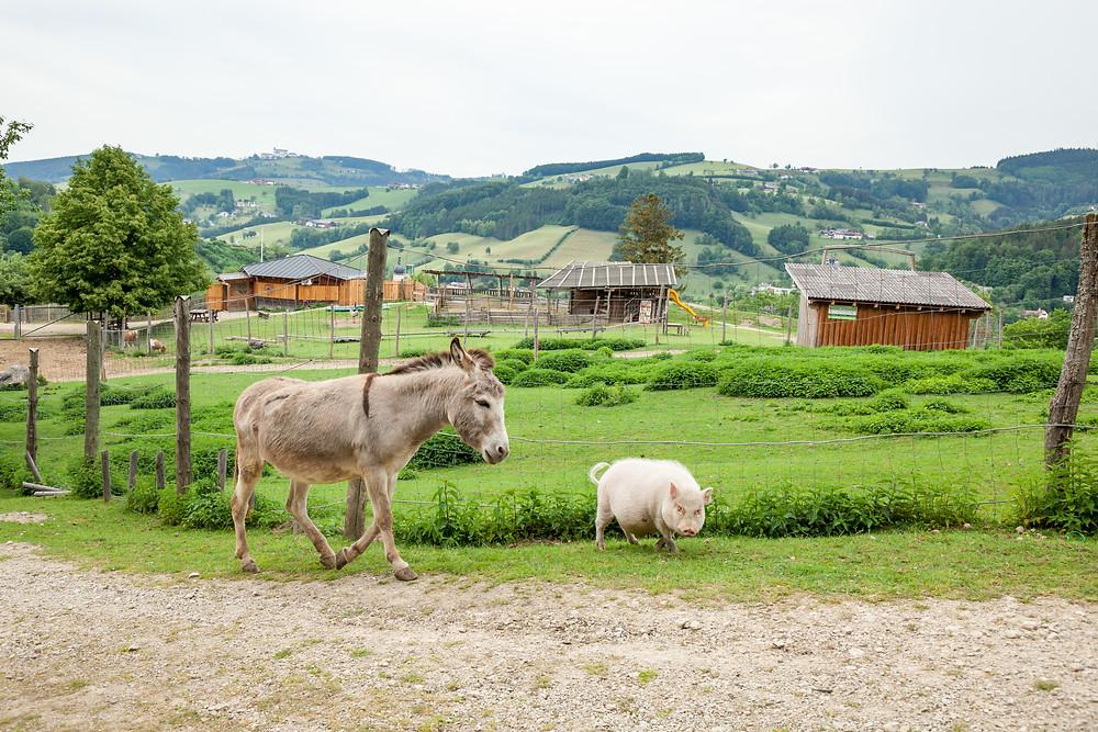 Buchenberg, Naturpark Buchenberg, Tierpark Buchenberg, Naturpark, Tierpark, Mostviertel, Niederösterreich, Ausflug, Naturerlebnis, heimische Wildtiere, Haustiere, Esel, Schwein