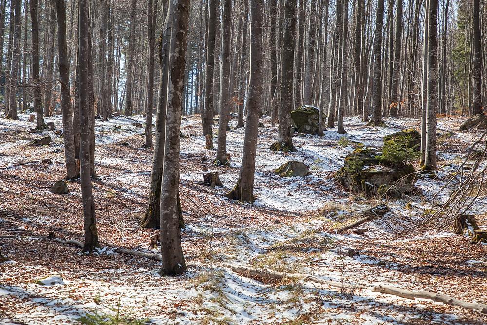 Buchenwald, Frühling, Waldviertel, Niederösterreich