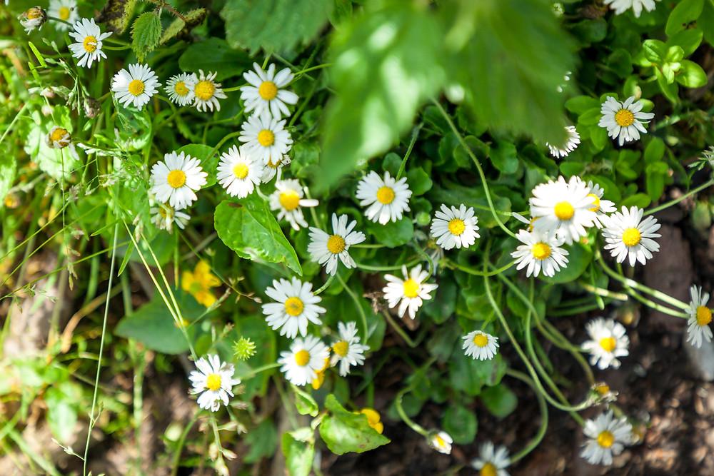 Blumenwiese, Almwiese, Blumen, Wiesenblumen, Gras. Annaberg, Annahm, Hennesteck, wandern, Wanderung, Ausflug, Niederösterreich, Mostviertel, Gänseblümchen