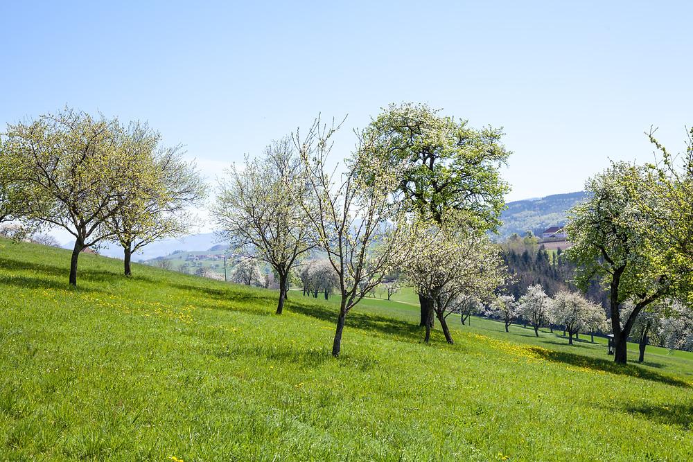 Mostbirnbaum, Mostbirnbaumblüte, Mostviertel, Niederösterreich, Wandern, Wandertipp, Ausflug, Frühling