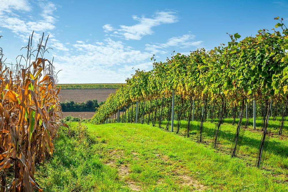 Wandern, Weinviertel, Niederösterreich, Wanderung, Weinberge, Weingärten