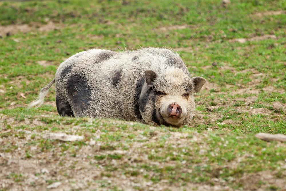 Buchenberg, Naturpark Buchenberg, Tierpark Buchenberg, Naturpark, Tierpark, Mostviertel, Niederösterreich, Ausflug, Naturerlebnis, heimische Wildtiere, Haustiere, Hängebauchschwein, Schwein, Minischwein