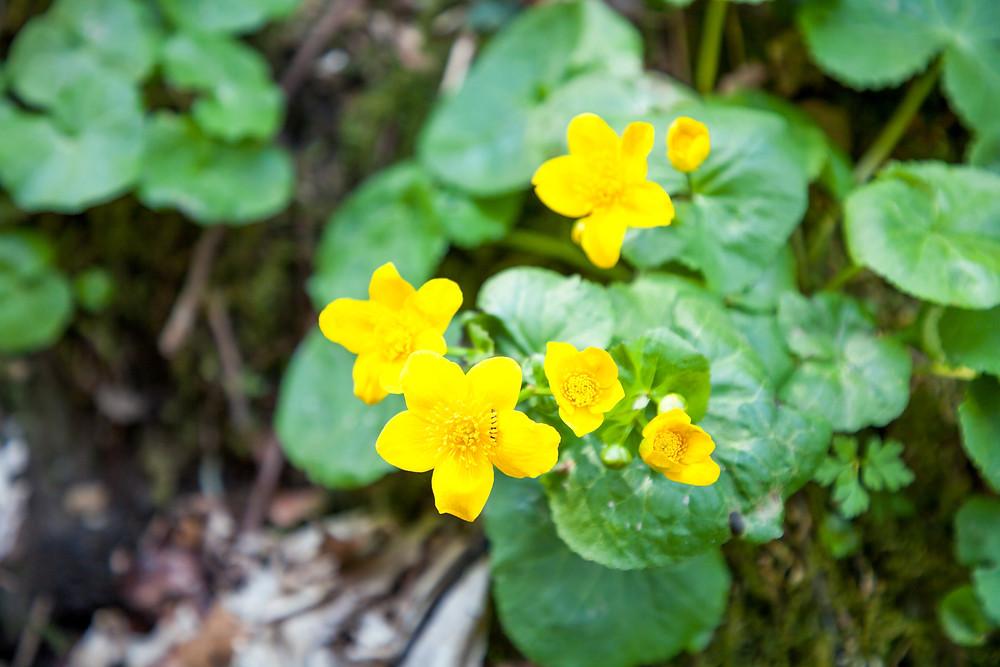 Sumpfdotterblume, Wasserpflanze, Aupflanze, Au, Wasserlauf, Bach, Frühling