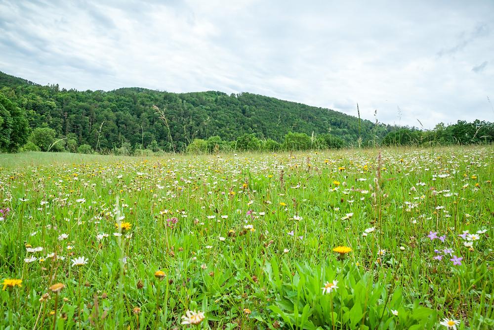 Kamp, Kamptal, Steinegg, Ödes Schloss, Wandern, Wanderung, Ausflug, Waldviertel, Niederösterreich, Blumenwiese