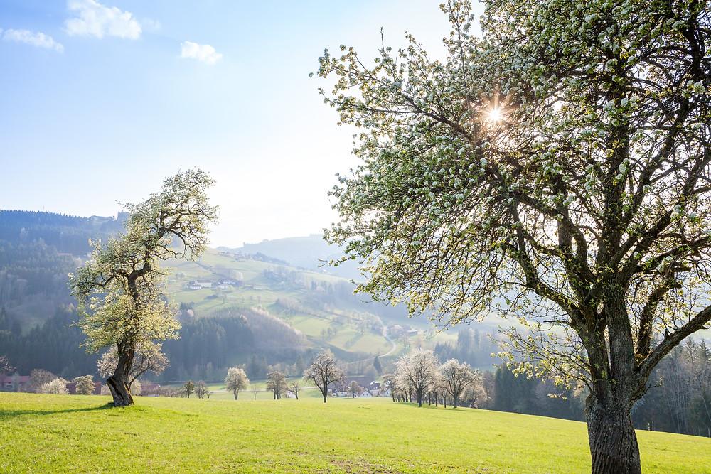 Mostviertel, Niederösterreich, Mostbirnbaum, Birnbaum, Birnbaumblüte, wandern, Wanderung, Wanderurlaub, Wanderreise, Urlaub, Ertl, Streuobstwiese, Frühling