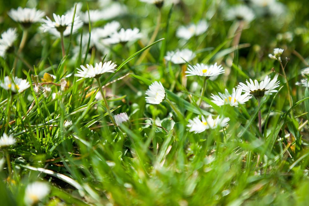 Gänseblümchen, Niederösterreich, Wachau, Frühling