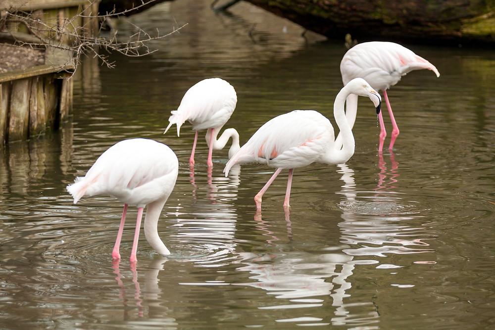 Tierpark Haag, Tierpark Stadt Haag, Tierpark, Mostviertel, NIederösterreich, Ausflug, ganzjährig, Niederösterreich-Card, Tiere, Wildtiere, Ausflugsziel, Erlebniswelt, Tiergarten, Flamingo
