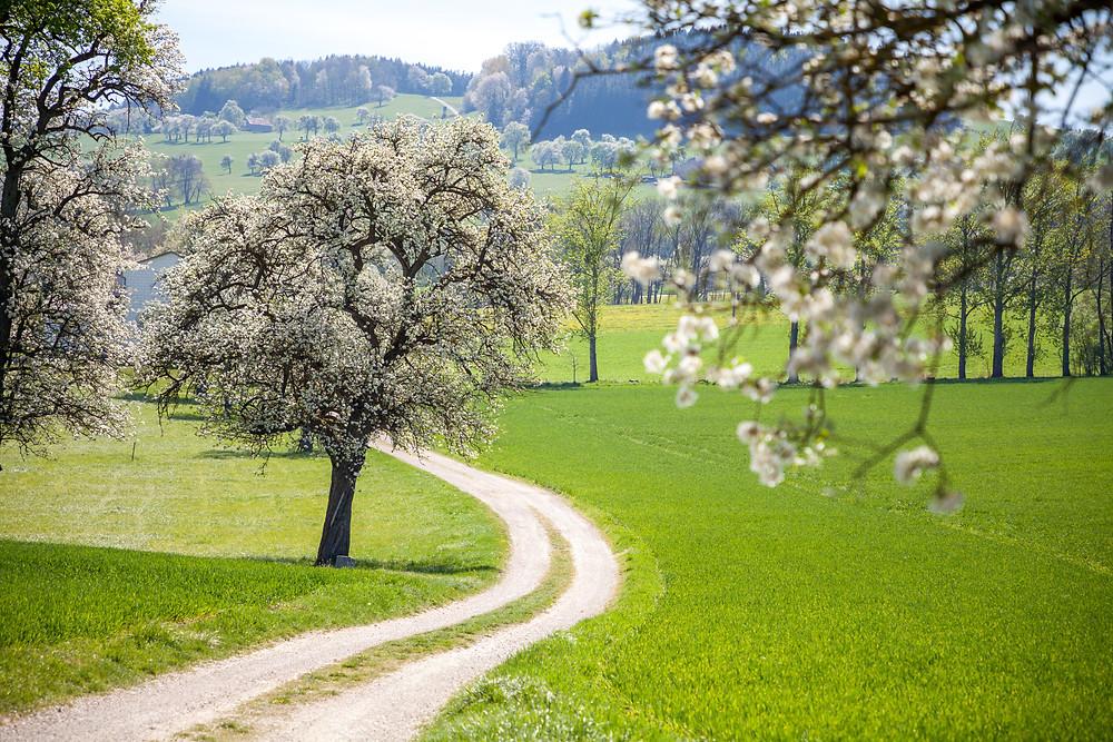 Mostbirnblüte, Mostbirnbäume, Mostbirnbaumblüte, Mostviertel, Niederösterreich, Wandern, Ausflug, Mostobstwanderweg, Wandertipp