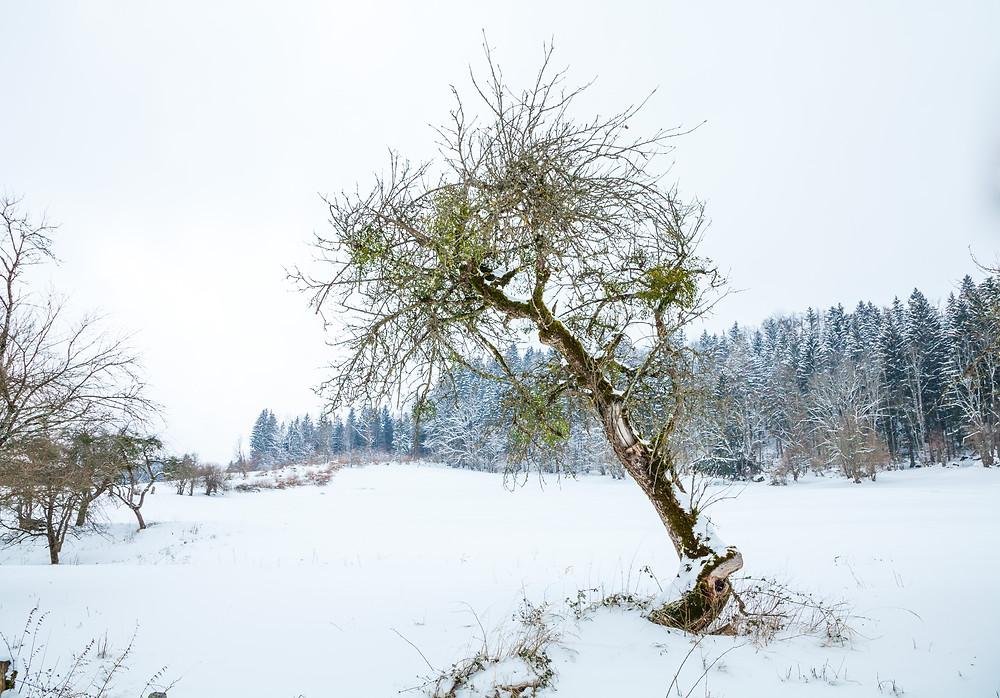 Eibl, Türnitz, Mostviertel, Niederösterreich, Alpen, Wandern, Wanderung, Winterwandern, Winterwald, Schnee, Winterurlaub, Winterspaß, Bergtour, Bergerlebnis, Misteln